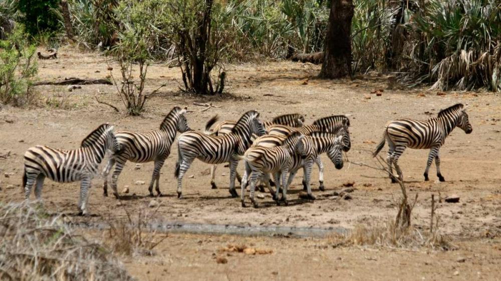 Safari Zebras Group I Underdahl, Dana 3701