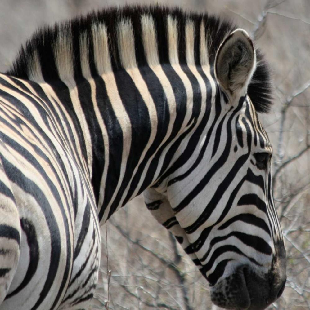 Sarari Zebra VI Underdahl, Dana 3706
