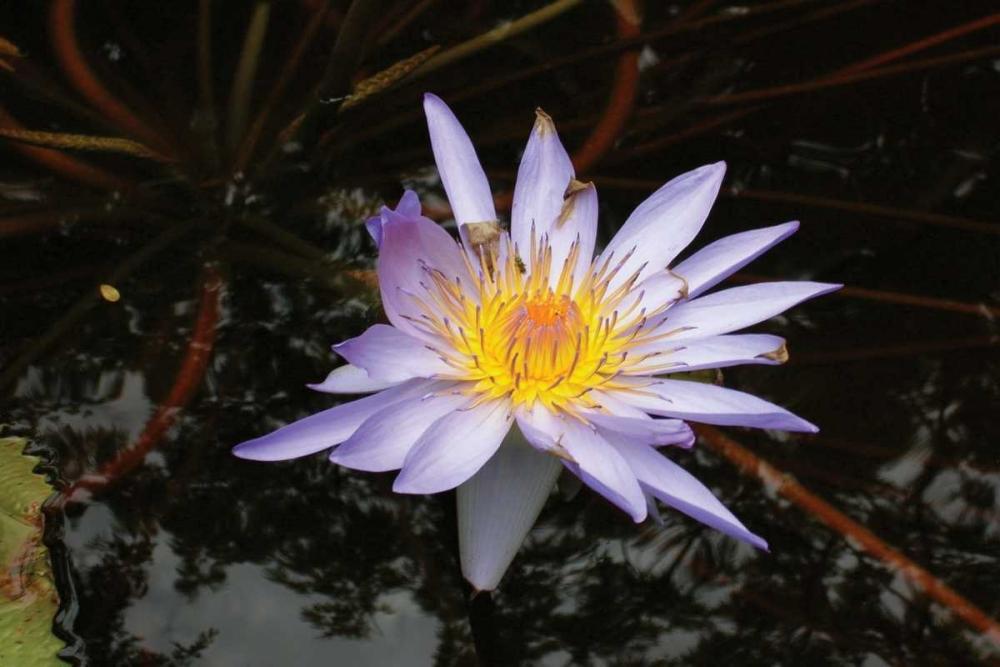 Violet Water Lily II Underdahl, Dana 3710