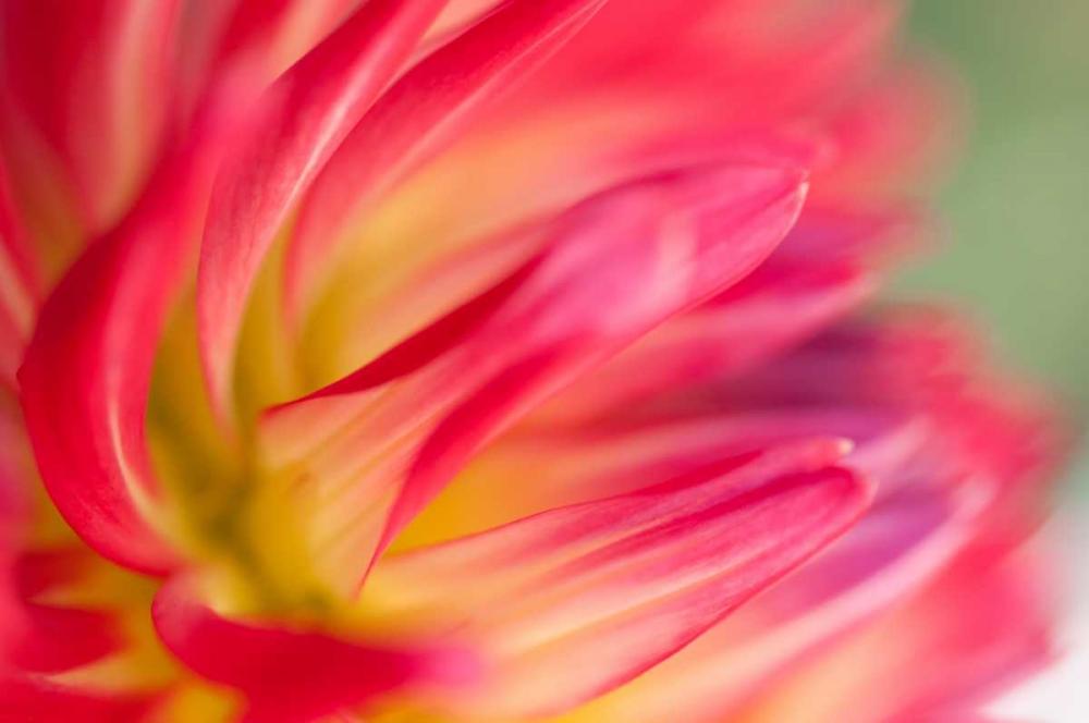 Dahlia Close-up I Wold, Beth 20352