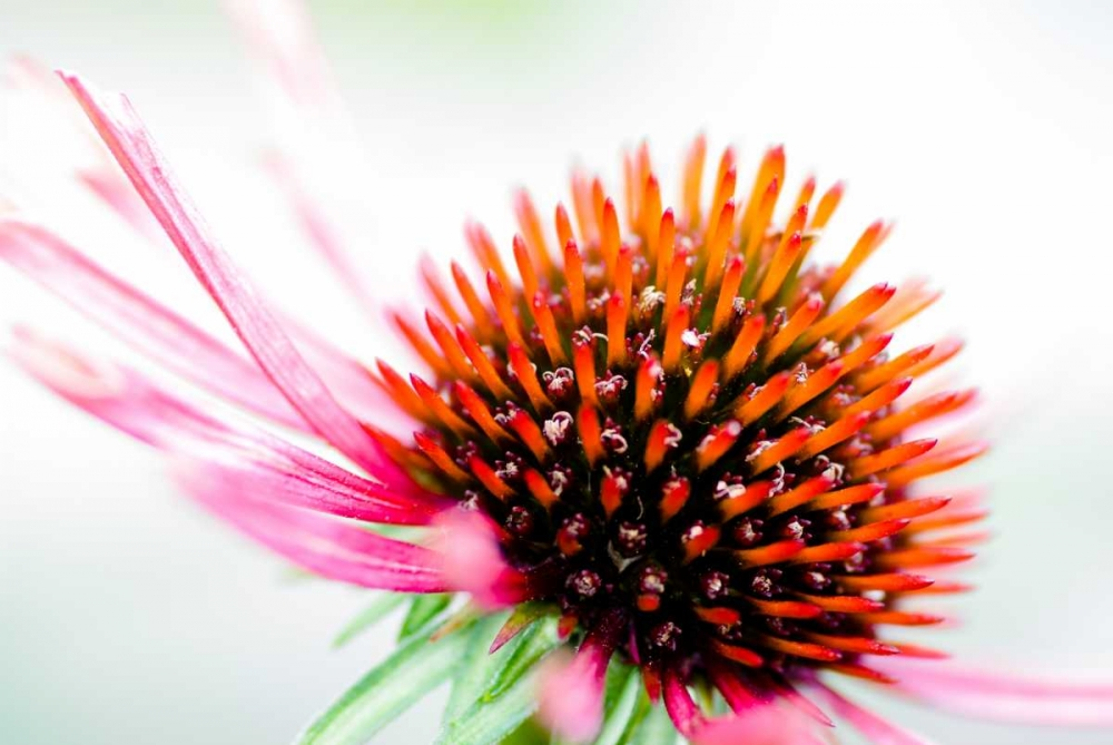Cone Flower I Wold, Beth 25444