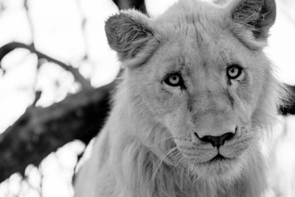 Male Lion Wold, Beth 64510