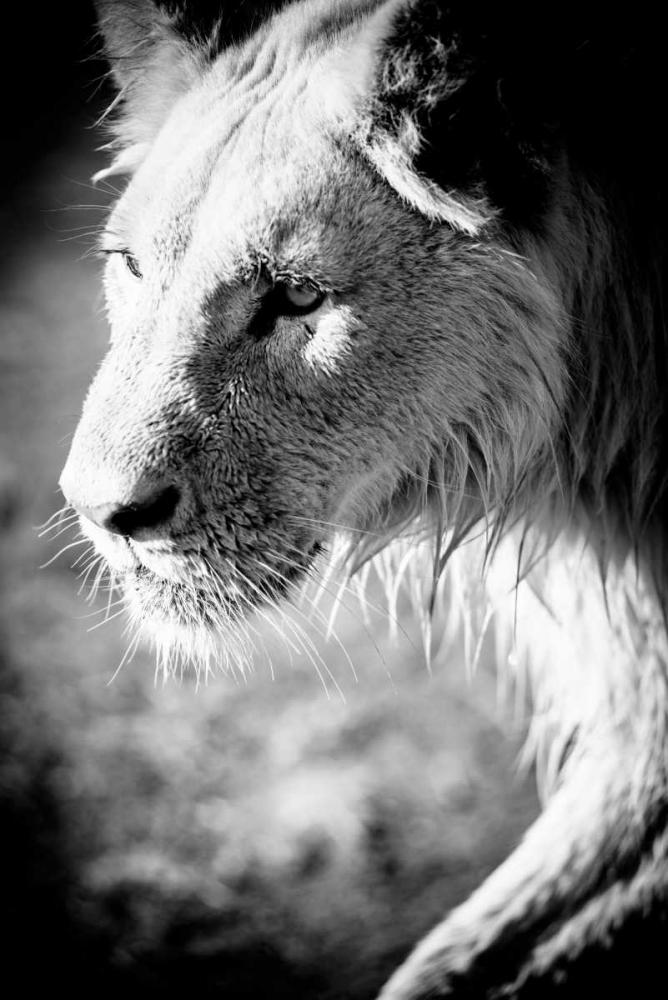 Male Lion II Wold, Beth 64512