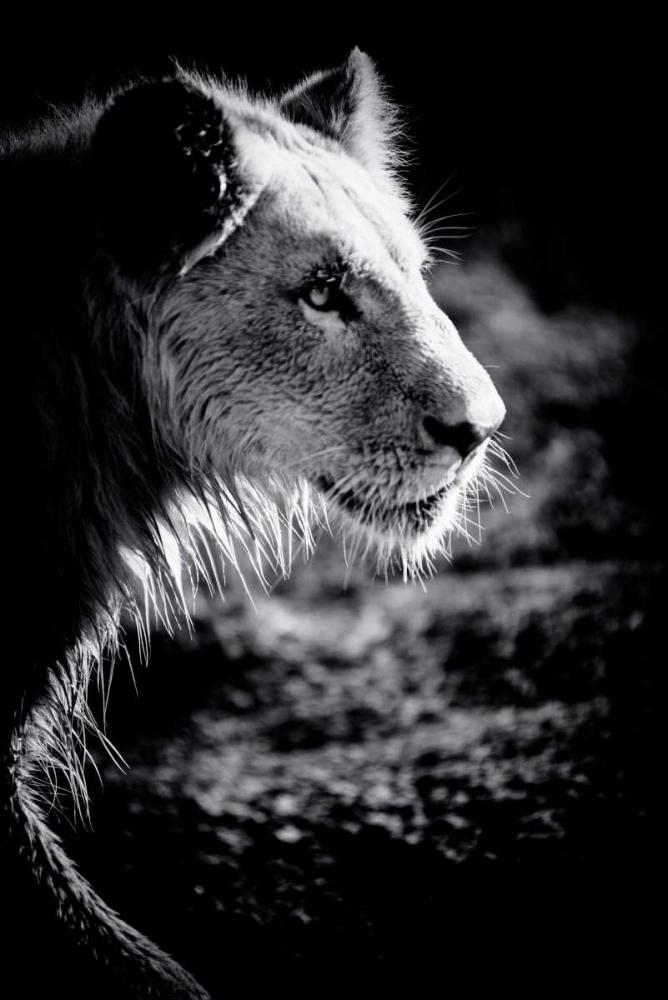 Male Lion III Wold, Beth 64513