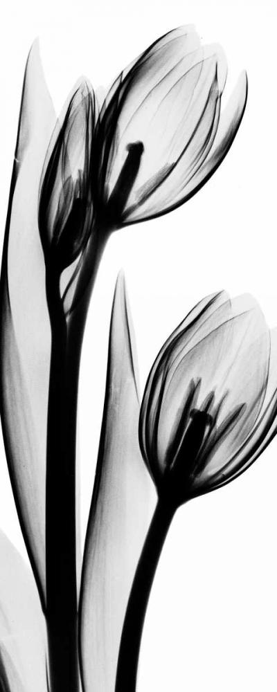 Tulip in BandW2 Koetsier, Albert 21694