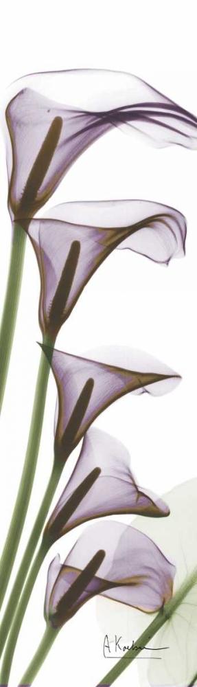 Calla Lilies in Purple Koetsier, Albert 22140