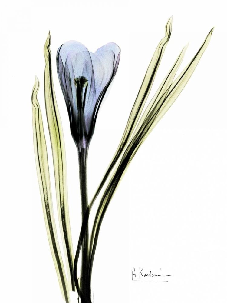 Crocus in Blue Koetsier, Albert 22174
