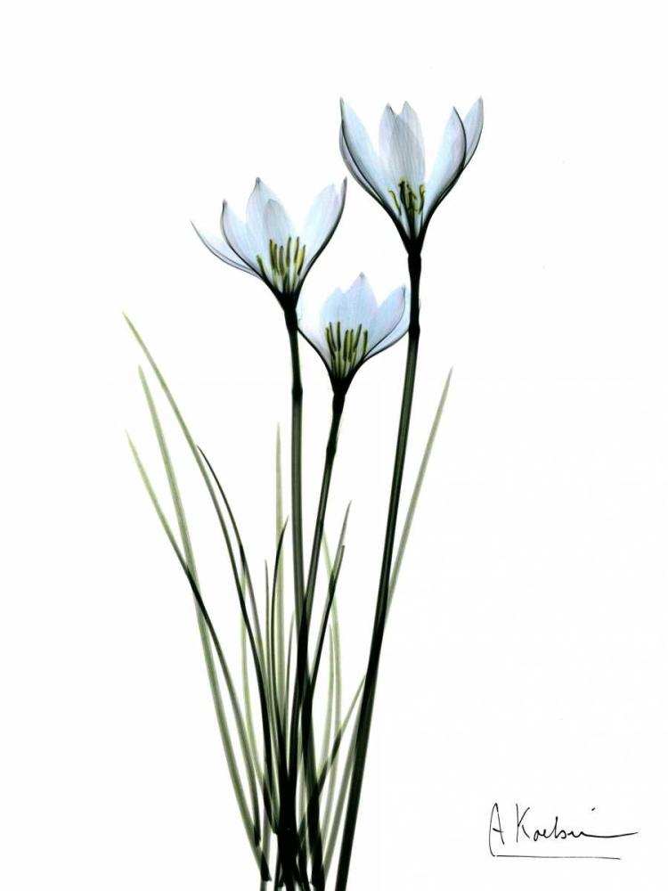 White Rain Lily Koetsier, Albert 22207
