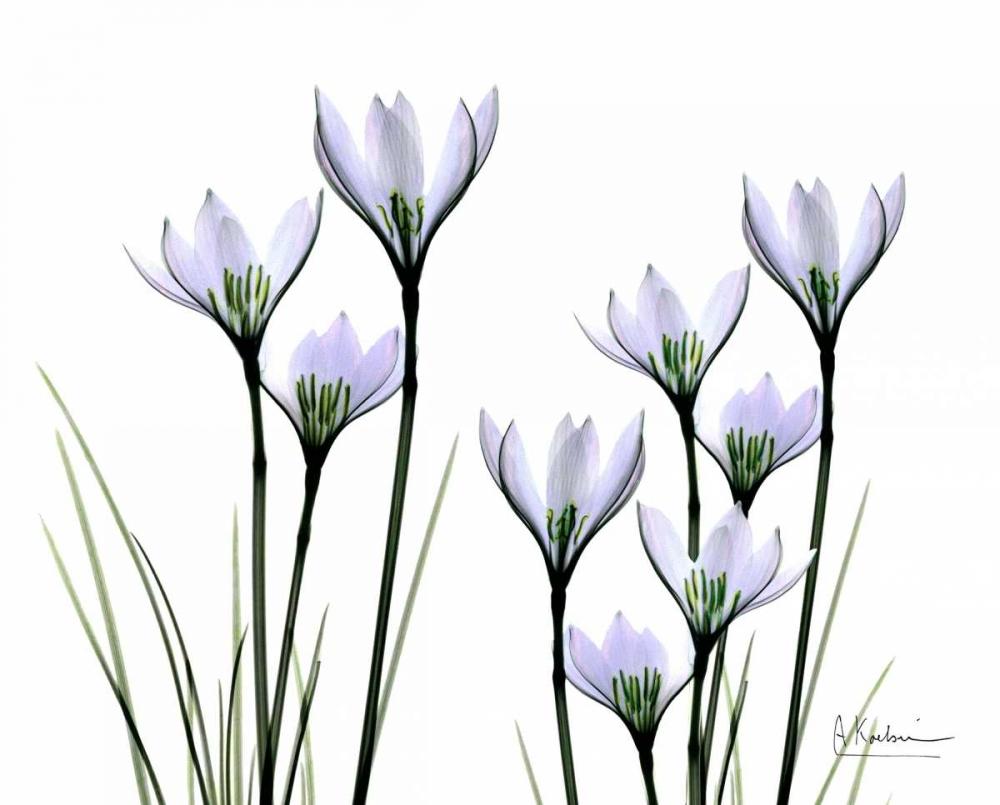 White Rain Lily in Bloom Koetsier, Albert 22209