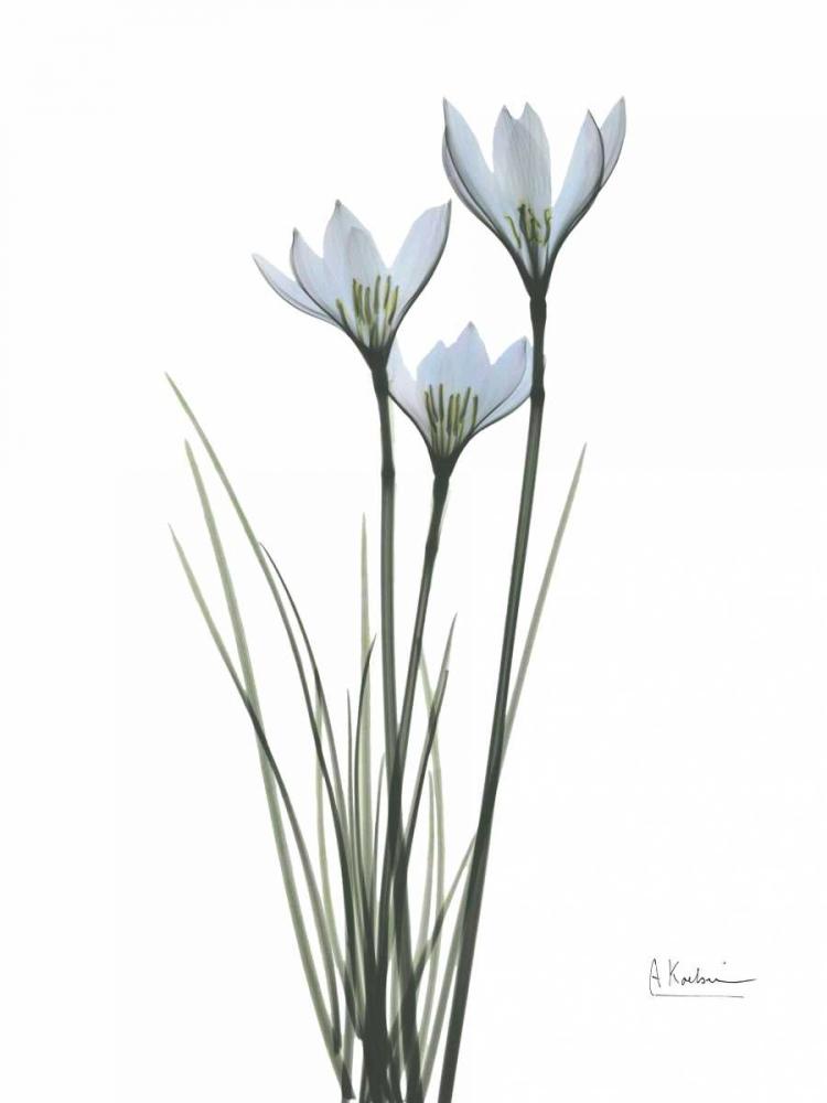 White Rain Lily Koetsier, Albert 22206