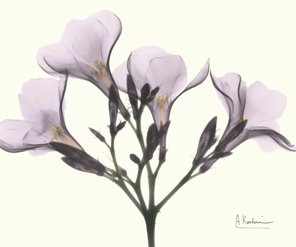 Oleander in Purple Koetsier, Albert 22246