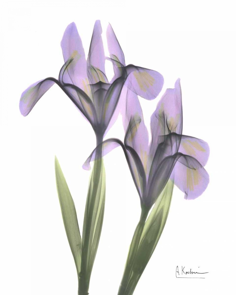 Purple Iris Koetsier, Albert 22273