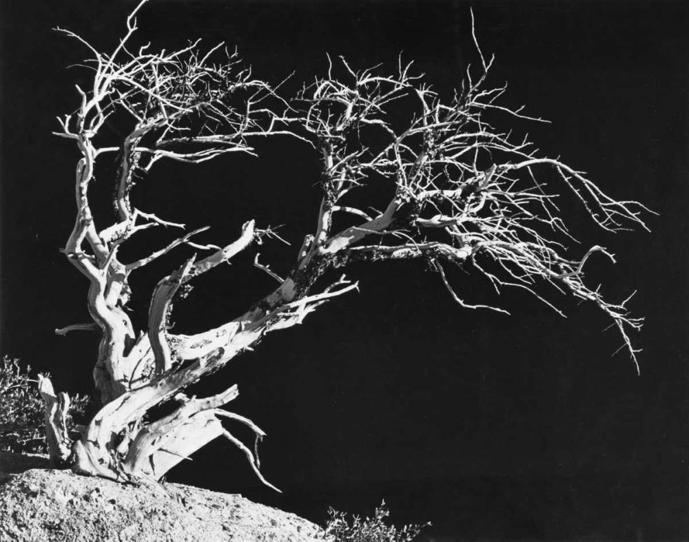 Bodi Tree Koetsier, Albert 37202