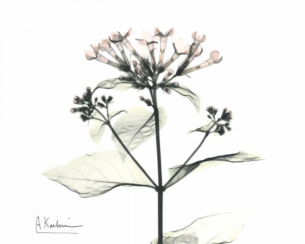 Bounaidia in Bloom Koetsier, Albert 22401