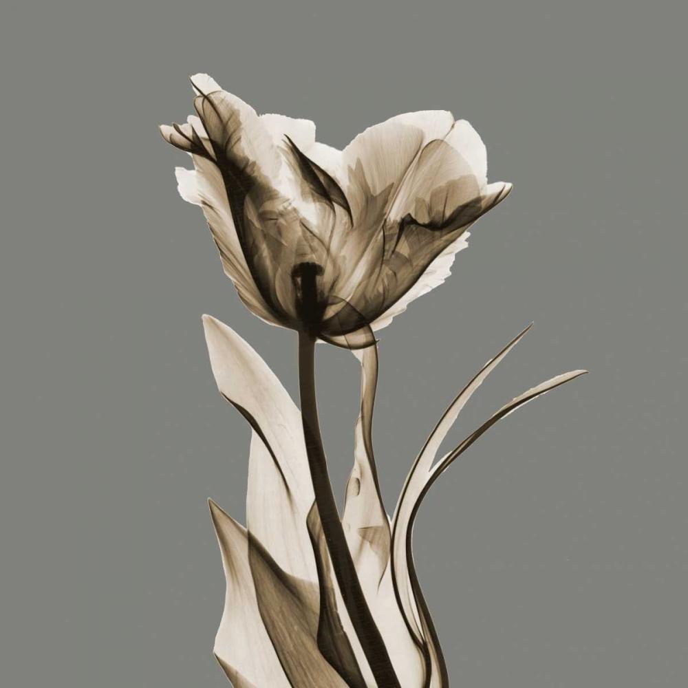 Gray Luster Tulip Koetsier, Albert 137831