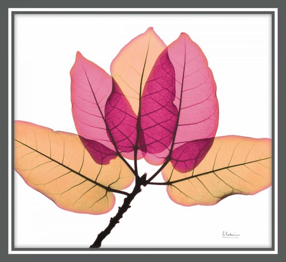Ficus Burkey Koetsier, Albert 150359