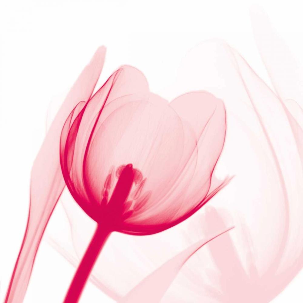 Magenta Tulip C68 Koetsier, Albert 86045