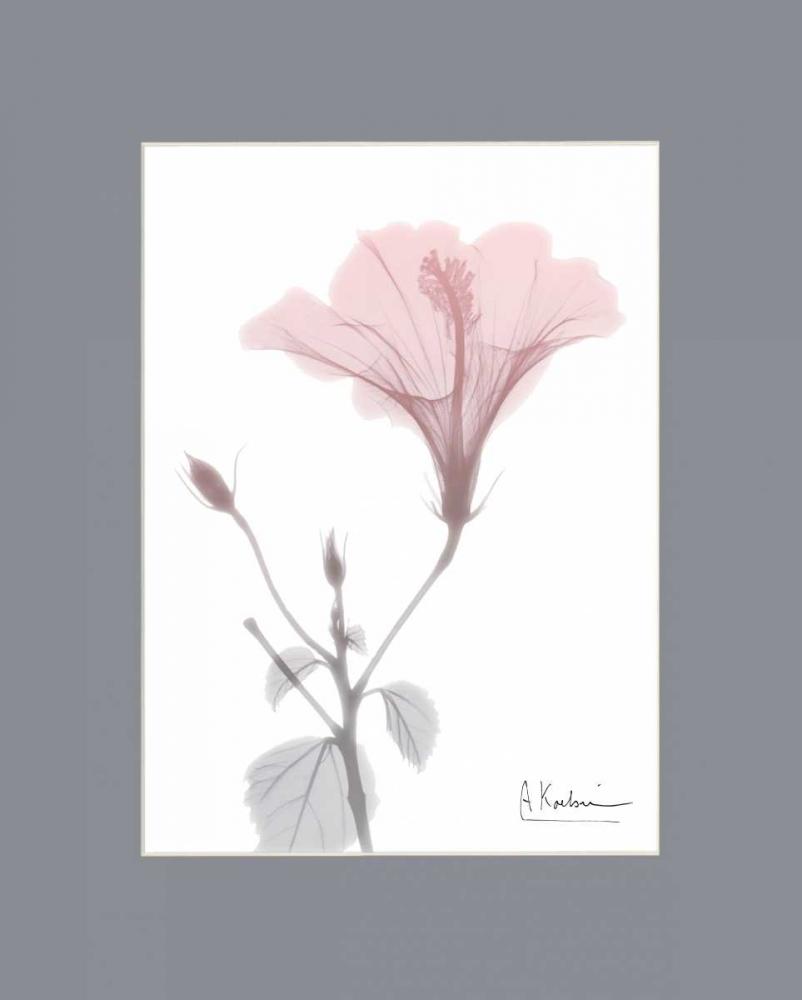 Hibiscus B49 Pink Matte Koetsier, Albert 106255