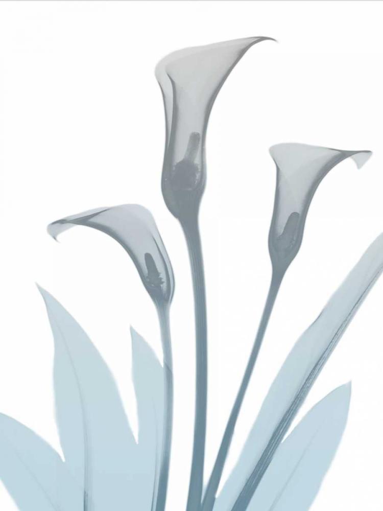 Serene Calla Lily 2 Koetsier, Albert 137860