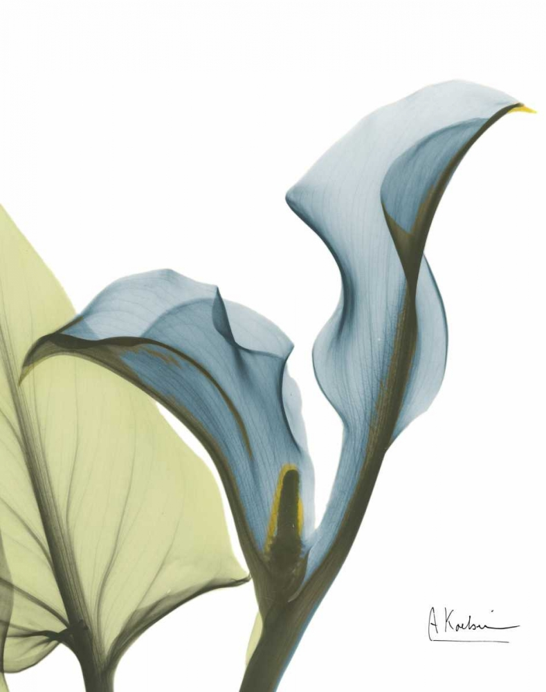 Calla Blues Koetsier, Albert 161314