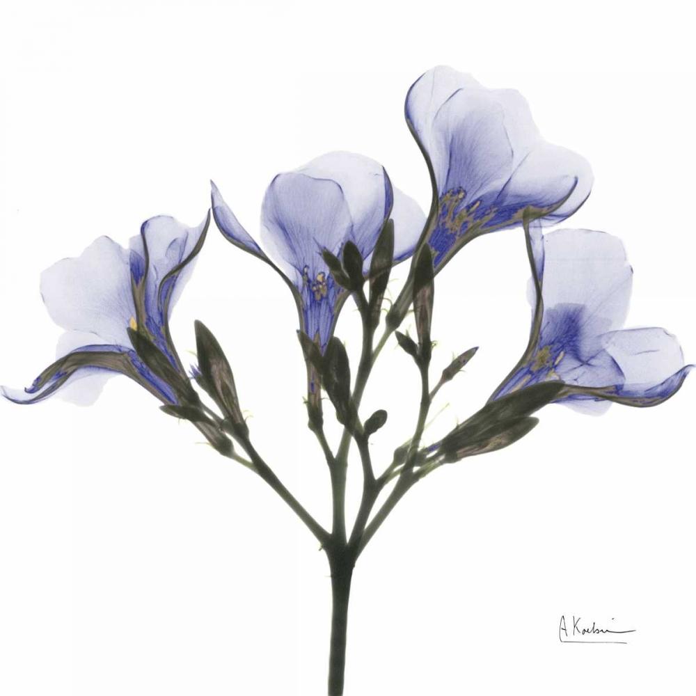 Crocuss in Purple Koetsier, Albert 22496