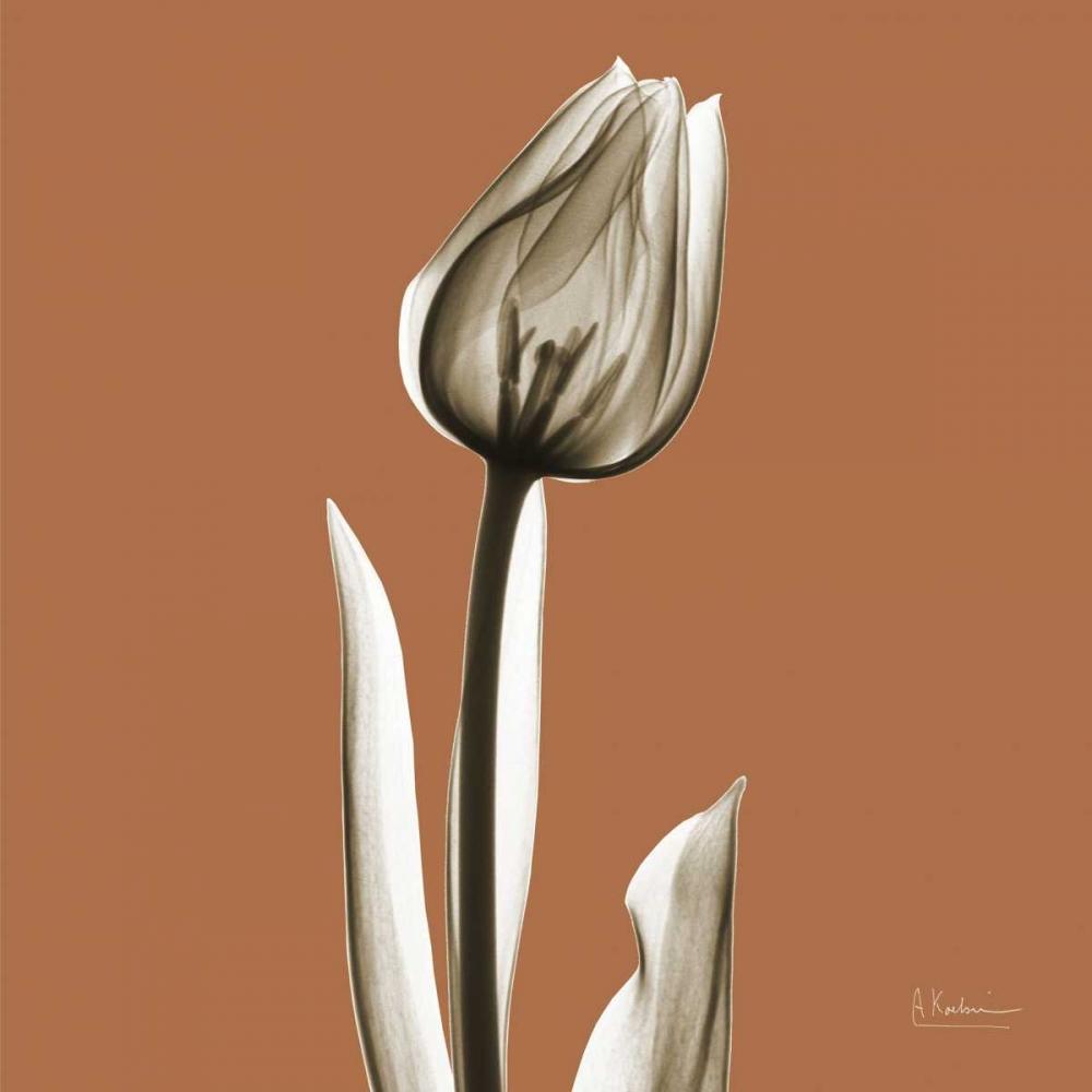 Squash Tulip Koetsier, Albert 22620