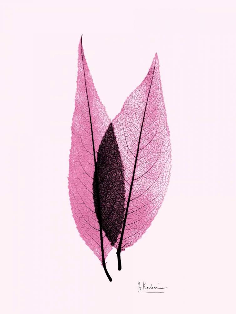 Caplulin Cherry Pink Koetsier, Albert 22645