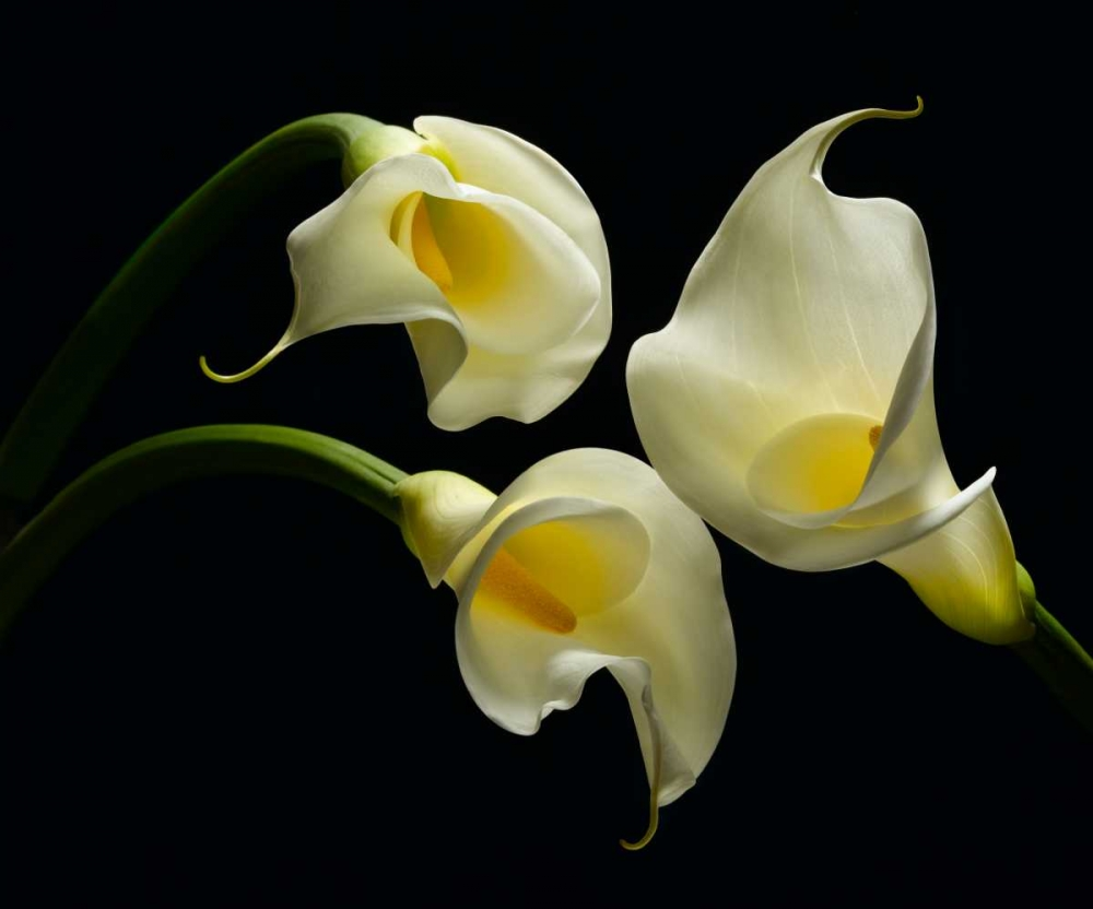 Three Calla Lillies Seidman, Barry 86276