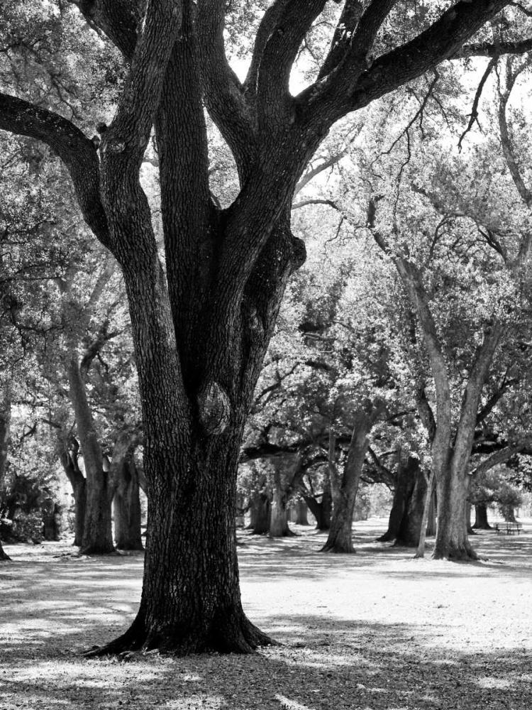 Oak Tree Study Maihara/Watt, Jeff/Boyce 13119
