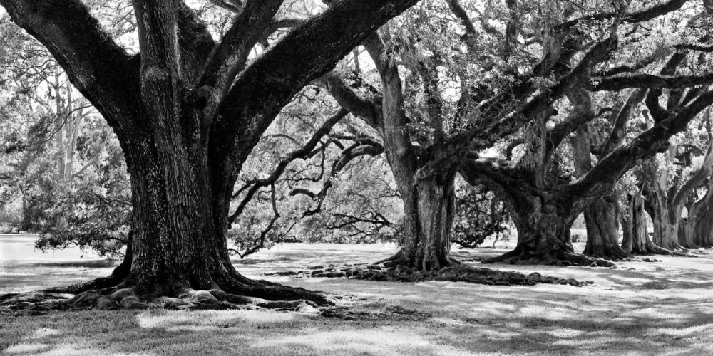 Majestic Oaks I Maihara, Jeff 12530