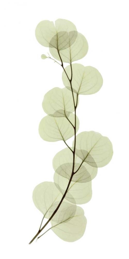 Eucalyptus ACEE 12582
