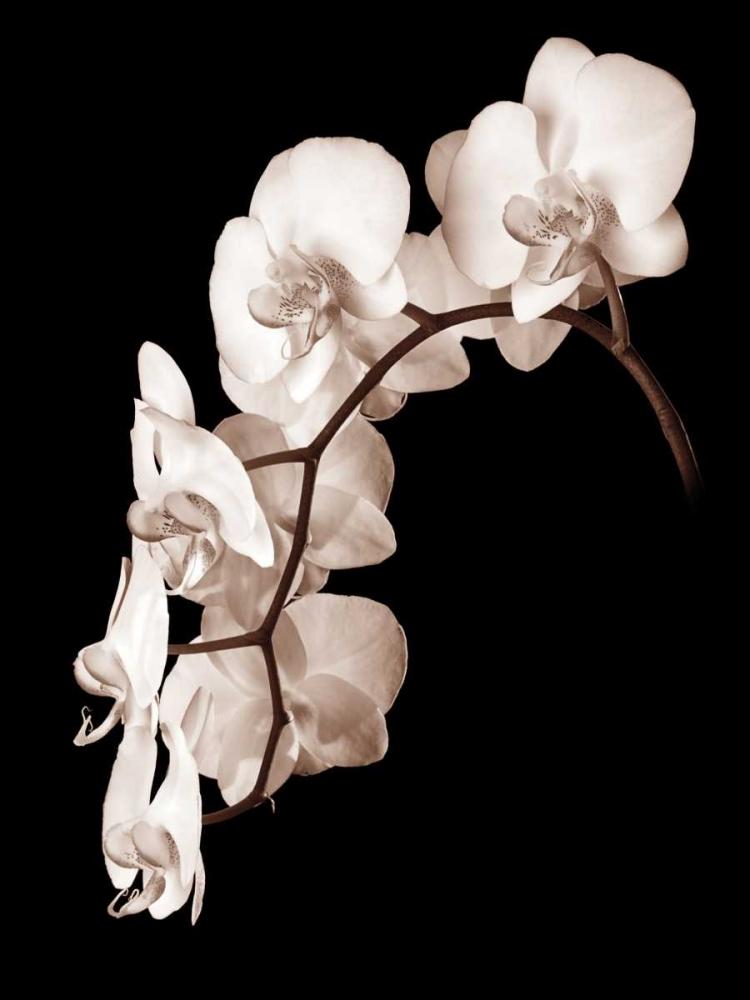 Orchid Dance II Rehner, John 12954