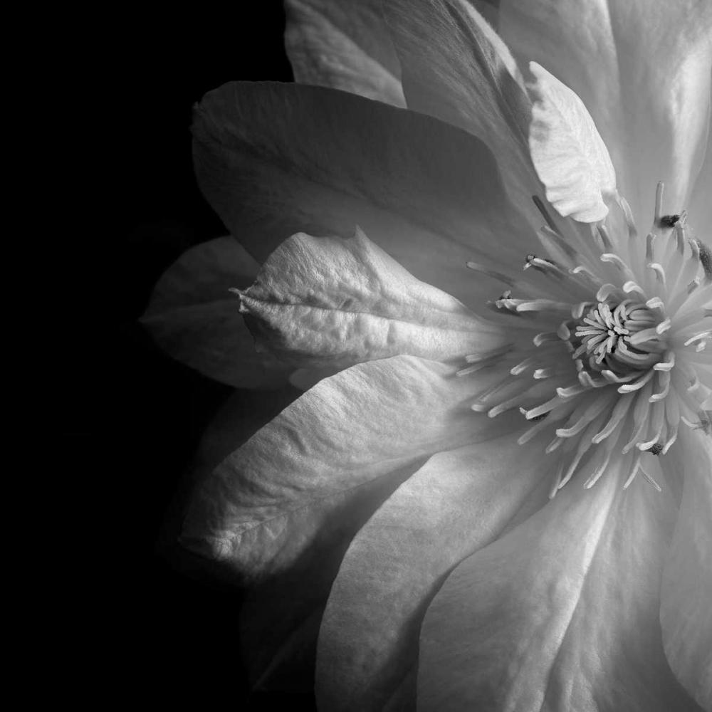 Clematis Le Blanc, Dawn 93220