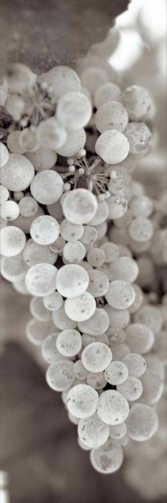 Grapes Pano - 13 Blaustein, Alan 82012