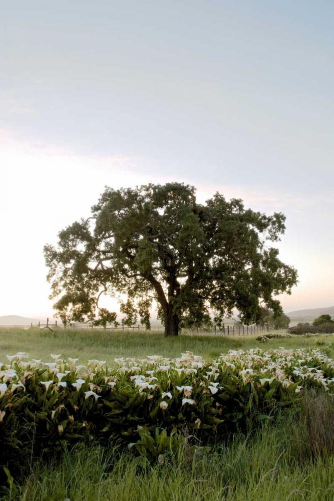 Oak Tree - 84 Blaustein, Alan 82329