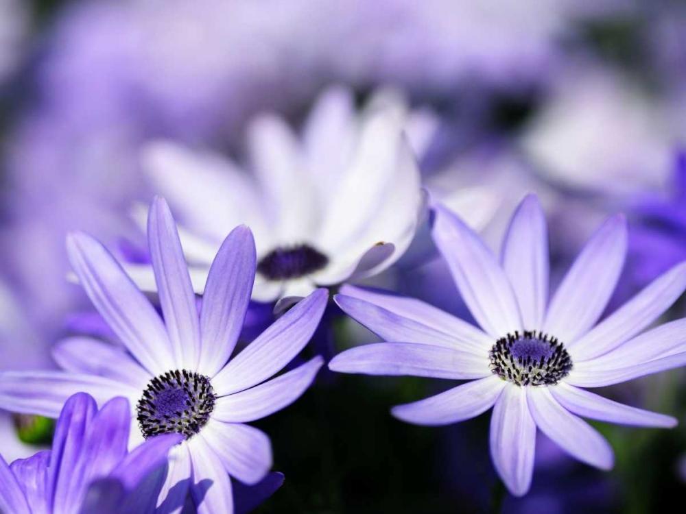 Purple Flowers PhotoINC Studio 140166