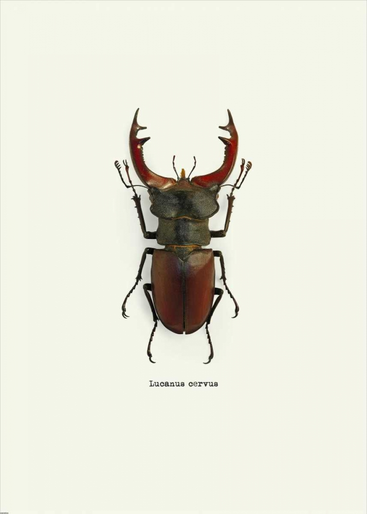 Beetle Red GraphINC 139847