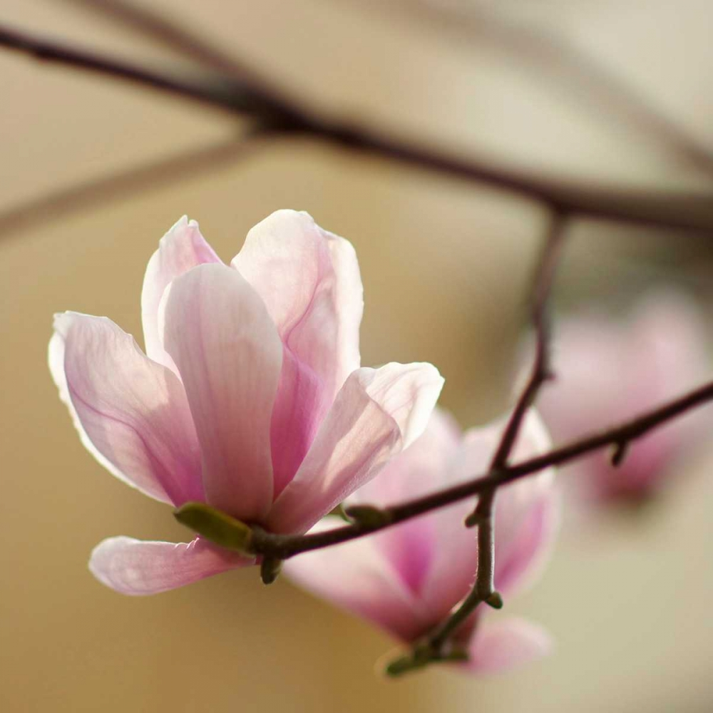 Tulip Tree 1 PhotoINC Studio 65823