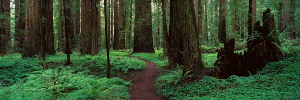 Redwoods Path Thomas, Alain 33262