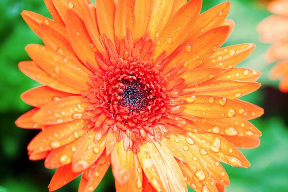 Orange Gerbera Bryant, Susan 122653