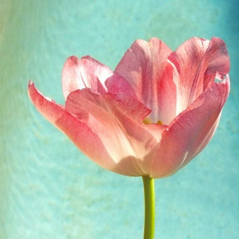 Pink Tulip Peck, Gail 31846
