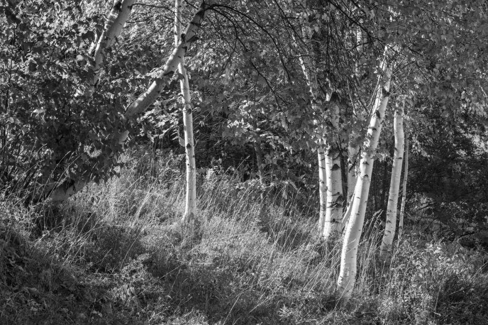 Sunlit Birches II Schlabach, Sue 80673