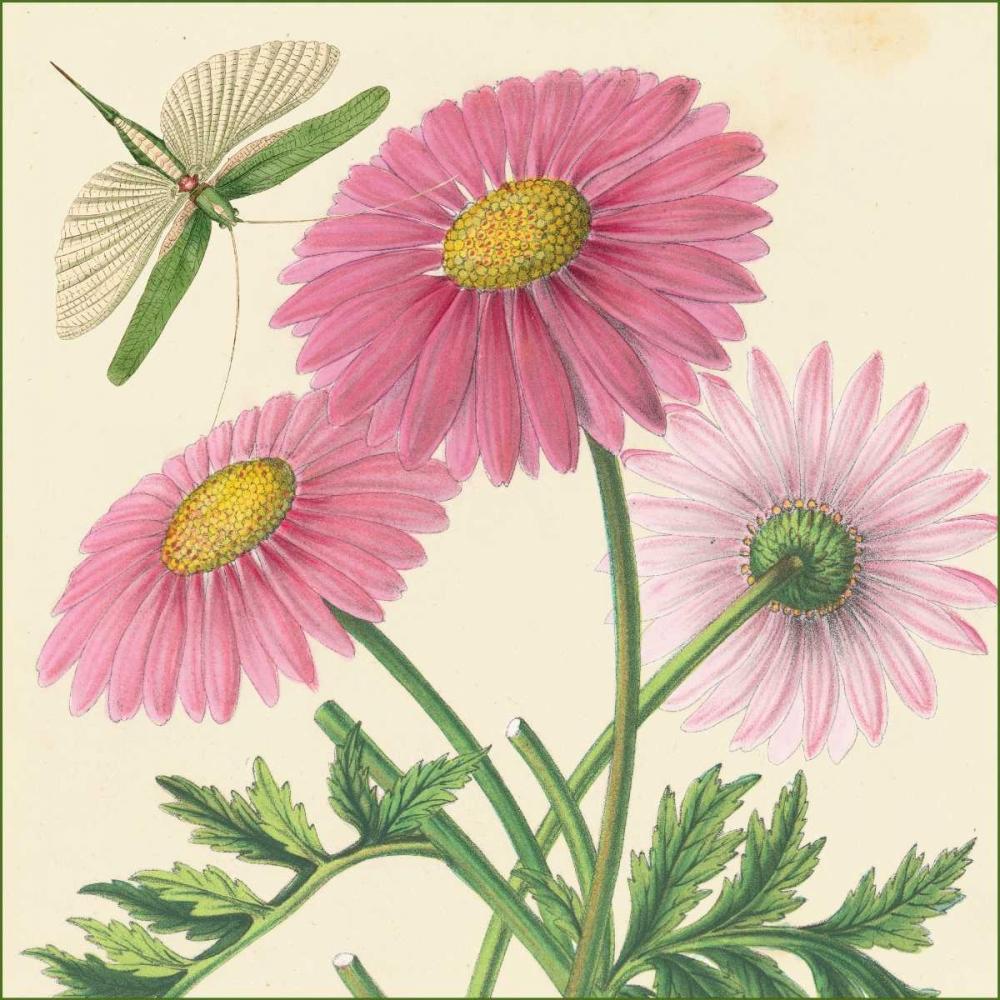 Pink Gerber van Houtte, Louis 20677