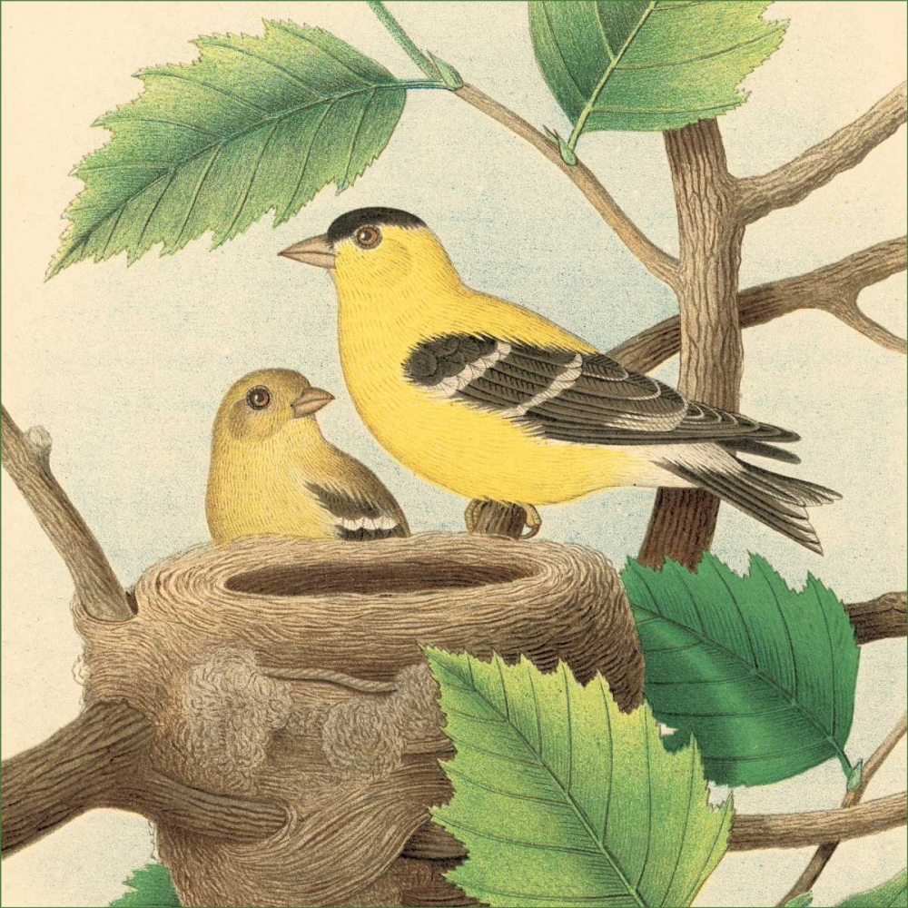 Goldfinch and Warbler A Gould, John 20680