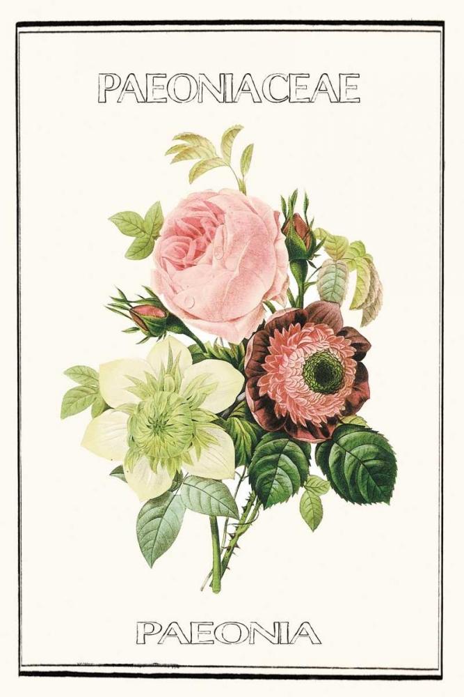 Paeno rose Waltz, Anne 166064