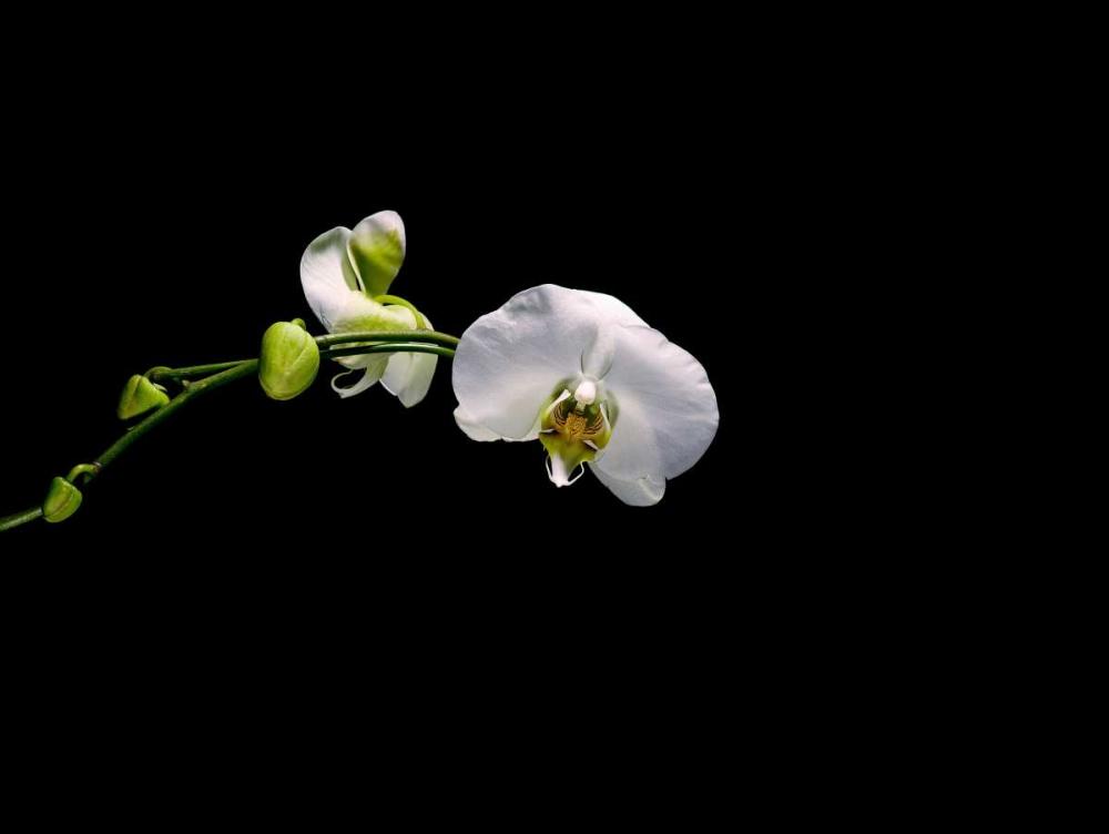 Cattileya Orchid Stalowy, John 27777