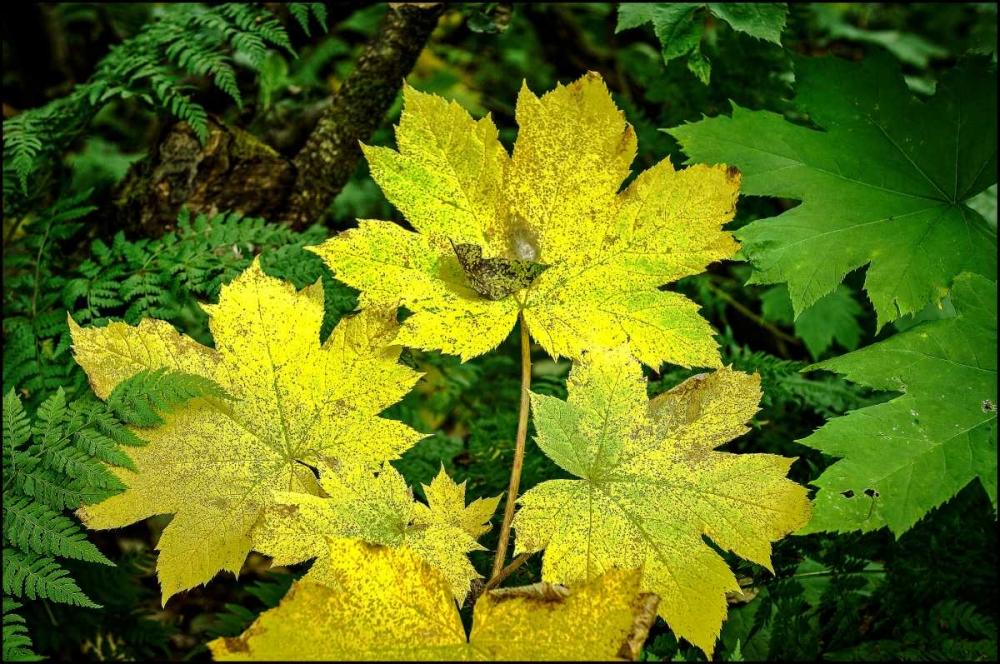 Fall Leaves Stalowy, John 27779