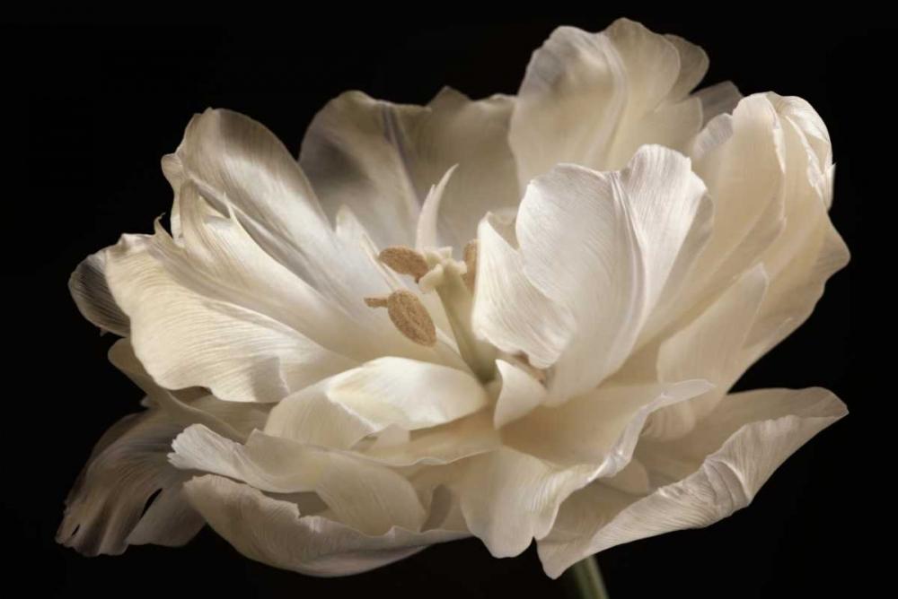 White Tulip Niele, Cora 87546
