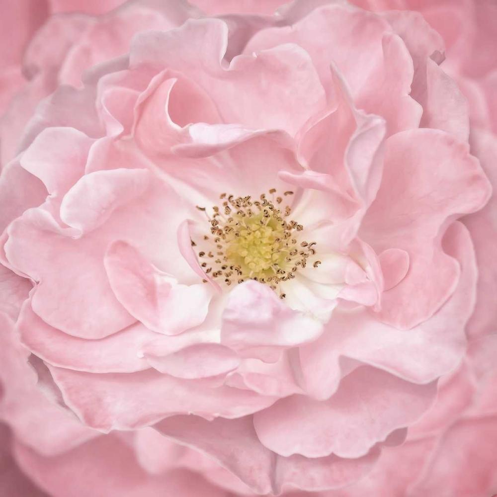Pink Rose Niele, Cora 87553
