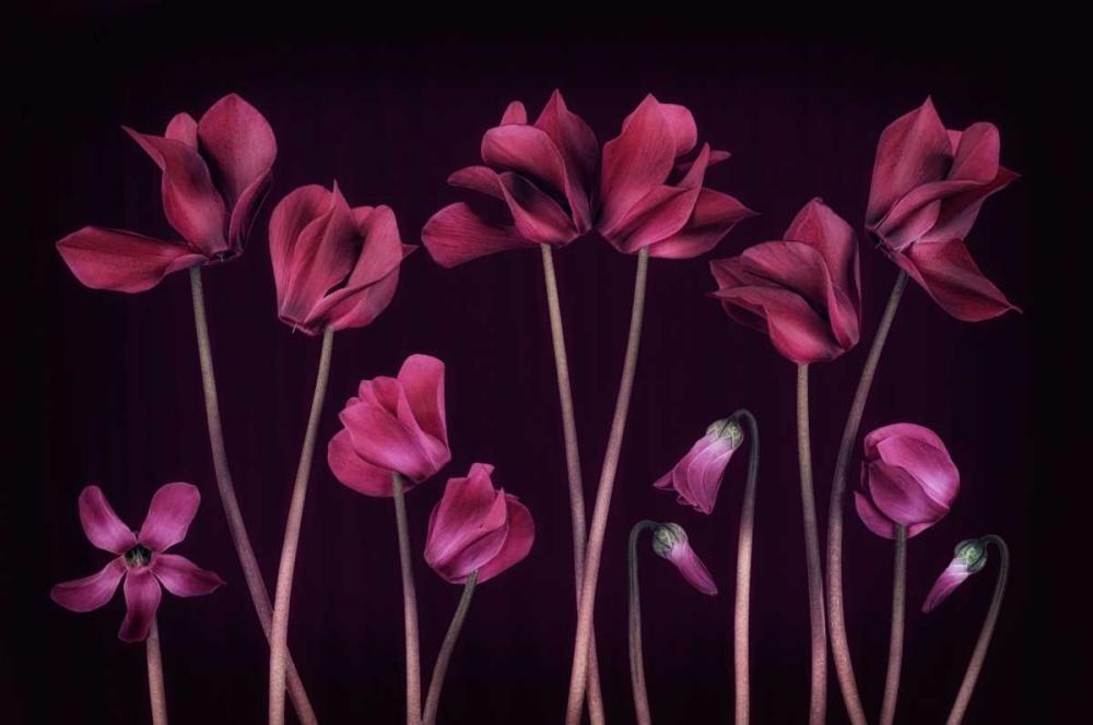 Cyclamen Deep Purple Niele, Cora 104717